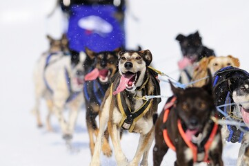 Team sled dogs running along a snowy road