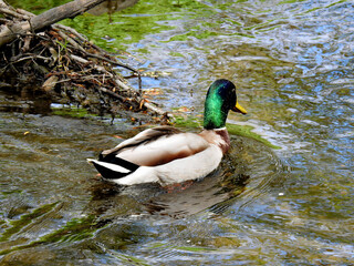 Fototapeta ptak kaczka krzyzowka wraz z piskletami w nurcie rzeki biala w miescie bialystok na podlasiu w polsce obraz