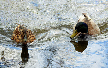 ptak kaczka krzyzowka wraz z piskletami w nurcie rzeki biala w miescie bialystok na podlasiu w polsce