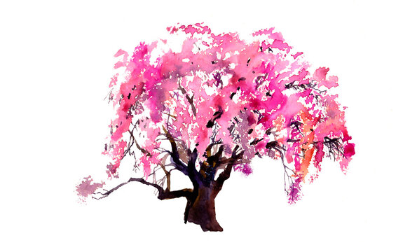 Watercolour sakura blossom pink tree isolated on white