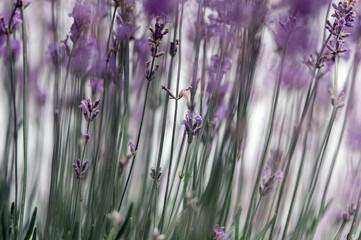 Kwiaty lawenda na pastelowym rozmytym tle