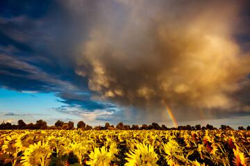 壁紙(ウォールミューラル) - Scenic image of ominous stormy clouds over field with yellow sunflowers.