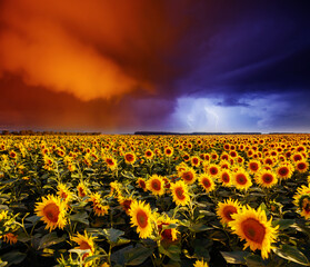 Wall Mural - Scenic image of ominous stormy clouds over field with yellow sunflowers.