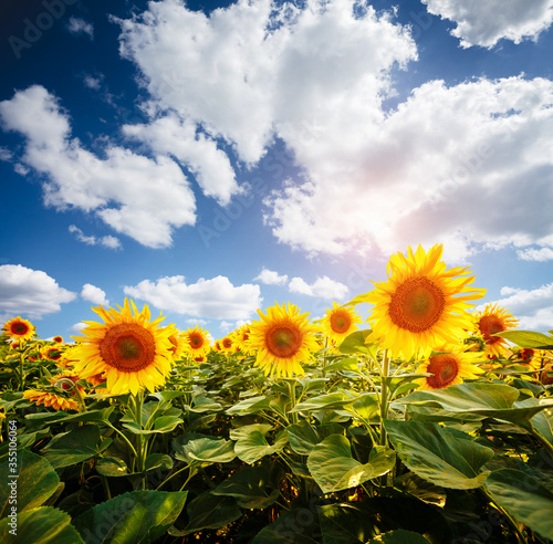 Wall mural Picturesque scene of bright yellow sunflowers with white fluffy clouds on a sunny day. Location place Ukraine, Europe.