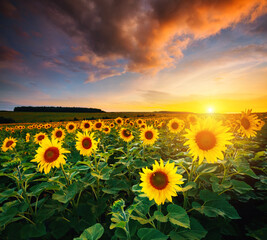 Wall Mural - Picturesque scene of vivid yellow sunflowers in the evening. Location place Ukraine, Europe.