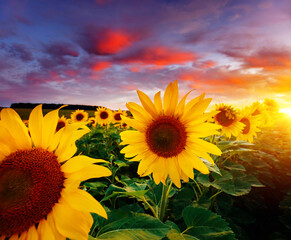 Wall Mural - Majestic scene of vivid yellow sunflowers in the evening. Location place Ukraine, Europe.