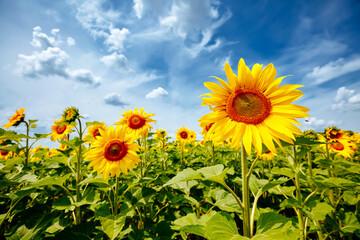 壁紙(ウォールミューラル) - Summer scene with bright yellow sunflowers on a sunny day. Location place of Ukraine, Europe.