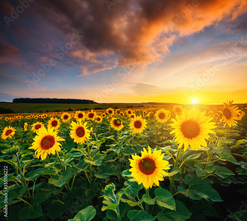 Wall mural Picturesque scene of vivid yellow sunflowers in the evening. Location place Ukraine, Europe.