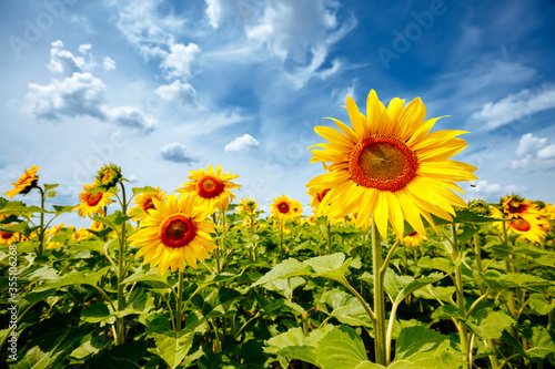 Wall mural Summer scene with bright yellow sunflowers on a sunny day. Location place of Ukraine, Europe.