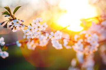 壁紙(ウォールミューラル) - Attractive photo of blossoming tree brunch with white flowers on bokeh background in sunny day.