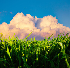 Wall Mural - Close up green grass and white fluffy clouds in bright sunny day.
