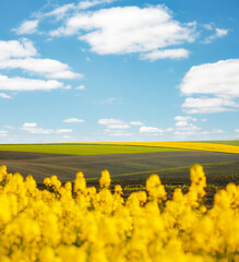Wall Mural - Bright yellow canola field and and fluffy white clouds on a sunny day. Agrarian industry.