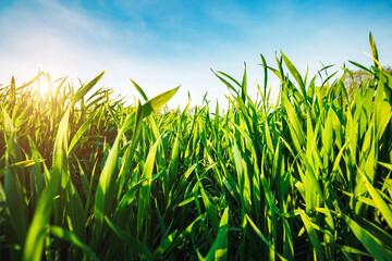 壁紙(ウォールミューラル) - Close up green grass and blue sky in bright sunny day.