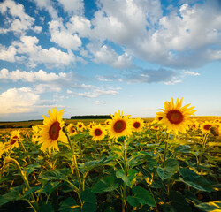 Wall Mural - Picturesque scene with bright yellow sunflowers on a sunny day. Location place of Ukraine, Europe.