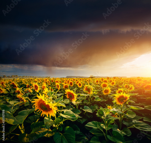 Wall mural Scenic image of ominous stormy clouds over field with yellow sunflowers.