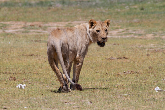 Female lion walking away, but turning the head back.