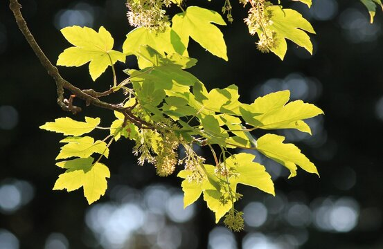 Acer campestre branch with green leaves and fruit