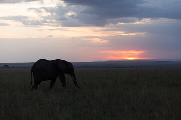 Wall Mural - Silhouette of a African elephant during sunset at Masai Mara, Kenya