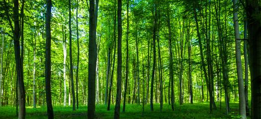 Printed roller blinds Forest Las drzewa park fototapeta krajobraz bory tucholskie wiosna