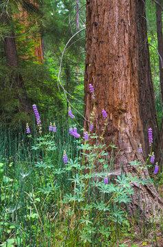 Mariposa Grove, Yosemite, Sierra Mountains, California, USA
