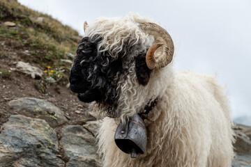 Cute blacknose sheep in the Swiss alps, Zermatt Valais