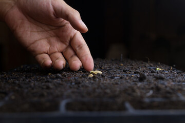 Professional farmer checking a seed after sow in black soil in a pot tray. Vegetable garden and Planting concept.