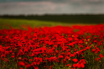 Beautiful field of red poppies in the sunset light. close up of red poppy flowers in a field. Red flowers background. Beautiful nature. Landscape. Romantic red flowers.