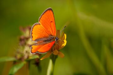 Obraz motyl czerwony na żółtym kwiatku - fototapety do salonu