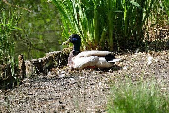 Enten am Teich. Wundervolle Wasservögel
