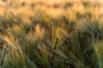 Fotoväggar - leuchtende Ähre in einem Getreidefeld im Abendlicht