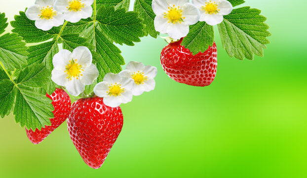 garden red strawberry fruit plant