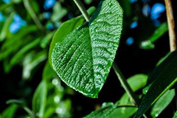 Obraz Duży zielony liść kaliny sztywnolistnej - fototapety do salonu