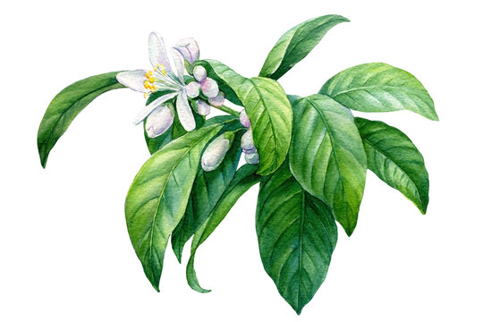 Lemon flowering branch, botanical watercolor drawing.
