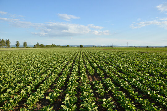young plants of sugar beet growing in the field with blue sky in the background