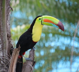 Costa Rica toucan on a branch
