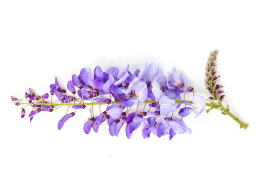 Purple wisteria flower isolated on white background