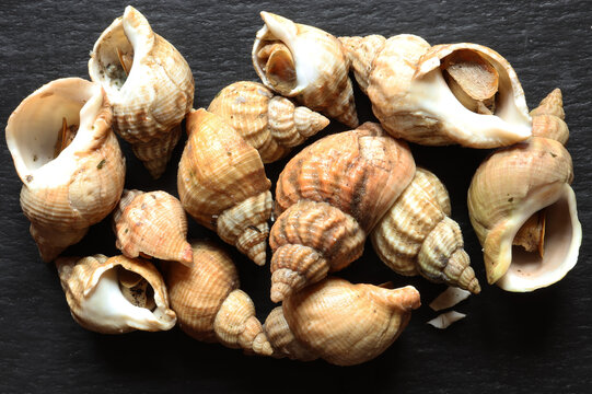Photograph of a handful of cooked whelks on a slate background for food illustrations