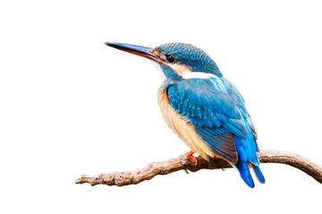 Printed roller blinds Bird Common Kingfisher (Alcedo atthis) isolate on white background.