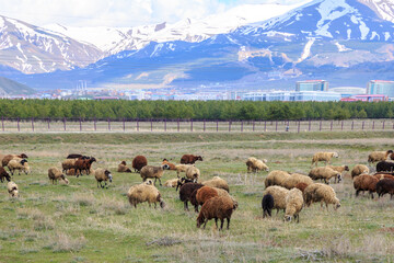 Sheep herd in Erzurum with palandoken mountain background