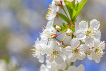 Blossoming tree branch with blue sky background macro