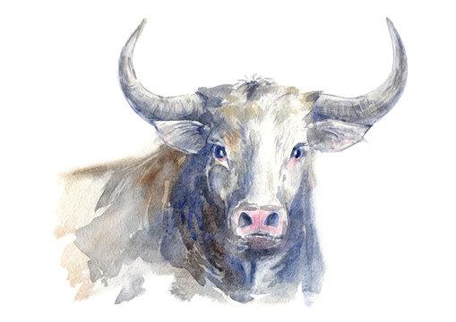 Bull. Farm animal. Watercolor hand drawn illustration.White background.