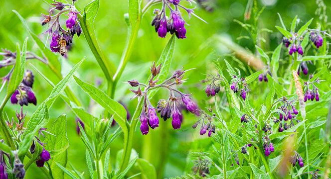Symphytum Officinale flowering herb close up