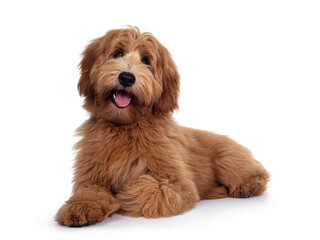 Wall Mural - Adorable red / abricot Labradoodle dog puppy, laying down facing front, looking towards camera with shiny dark eyes. Isolated on white background. Mouth open showing pink tongue.