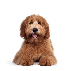 Wall Mural - Adorable red / abricot Labradoodle dog puppy, laying down facing front, looking towards camera with shiny dark eyes. Isolated on white background. Mouth open showing tongue and cute head tilt