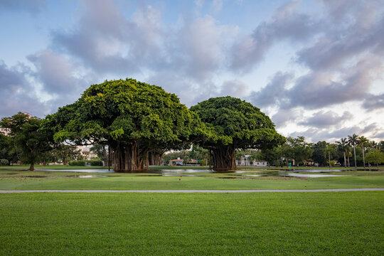 Tree at sunrise at the Granda Golf course in Miami