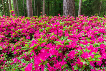 Pink flowers in a forest at Park Brdo near Kranj, Slovenia