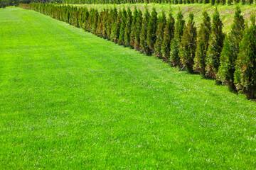 Fototapeten Pistazie green meadow and row of coniferous decorative bushes