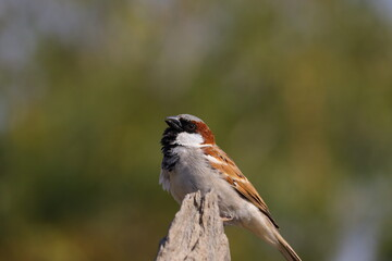 royalty free sparrow image, HD