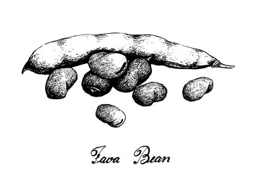 Vegetable, Illustration of Hand Drawn Sketch Fresh Fava Bean or Broad Beans on Tree Isolated on White Background, Used in Both Sweet and Savory Recipes.  Papier Peint