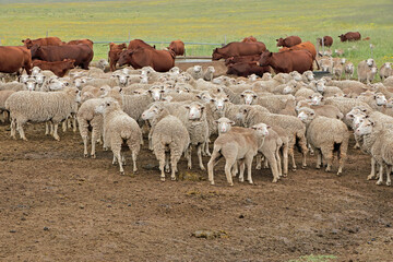 Free-range merino sheep and cattle in natural rangeland on a rural South African farm.